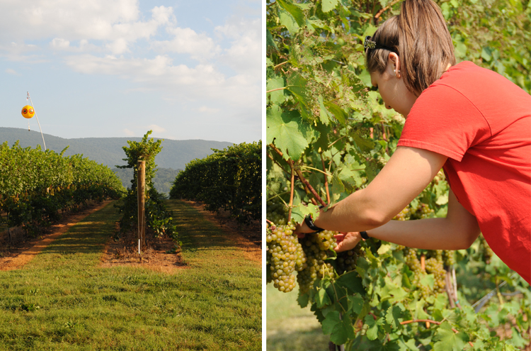 Picking Winemaking