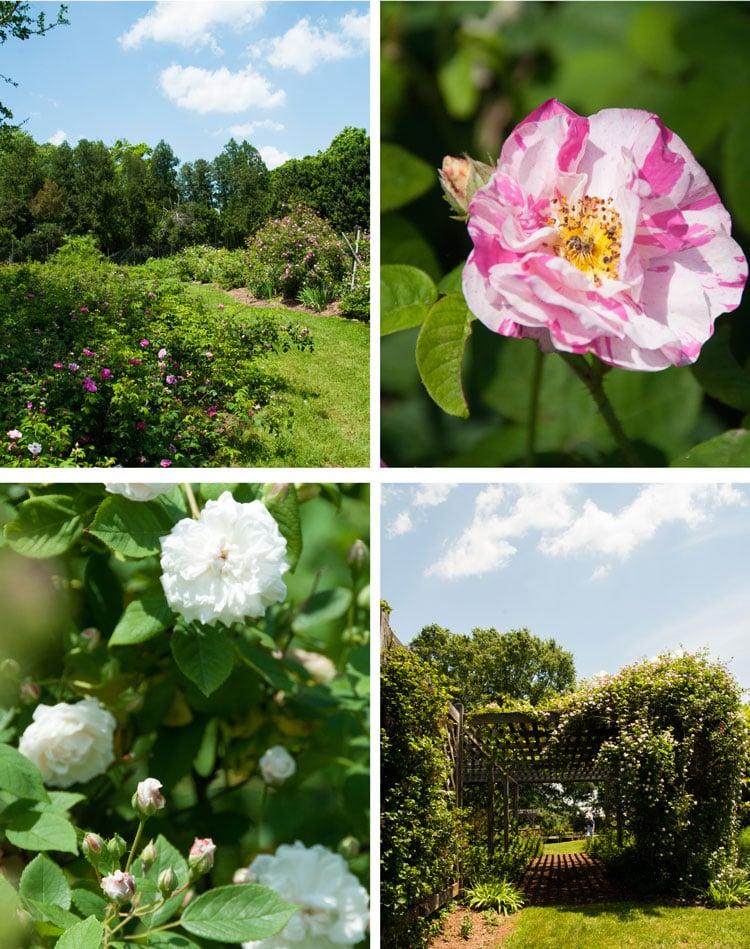 rose.6