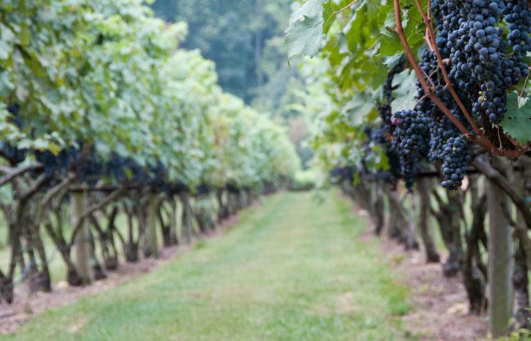 ducard-grapes