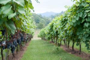 DuCard Vineyards