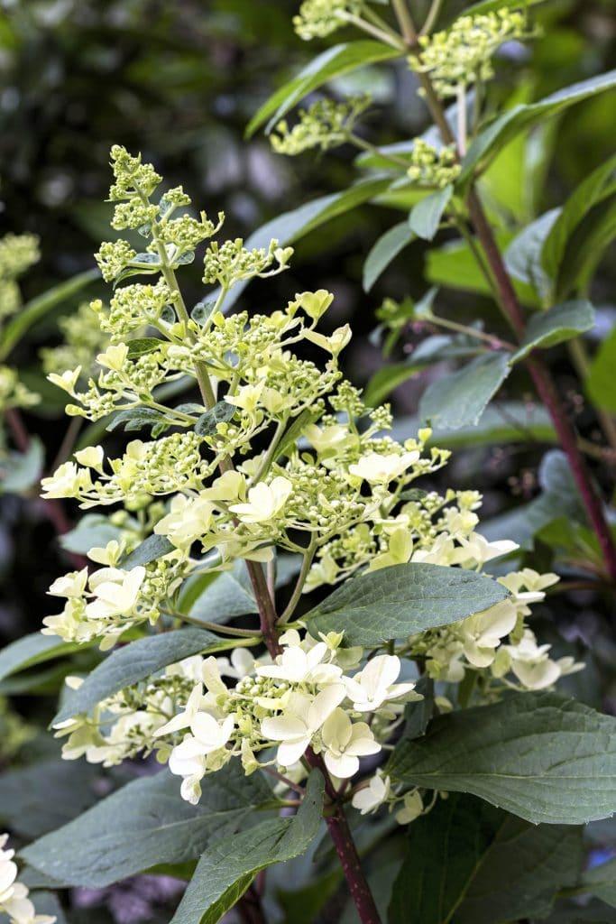 Blooming Hydrangea plants
