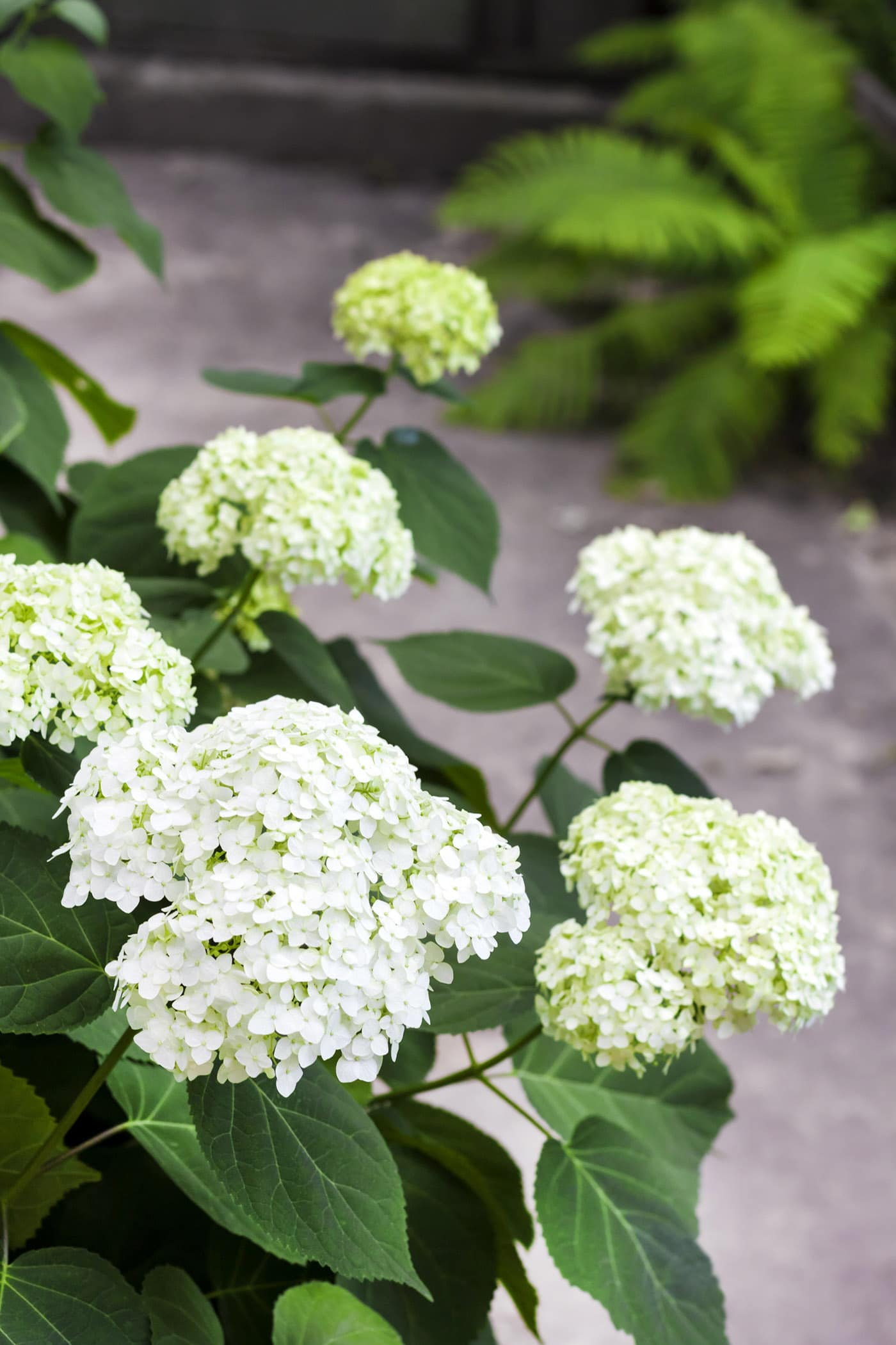 Blooming white Annabelle Hydrangea