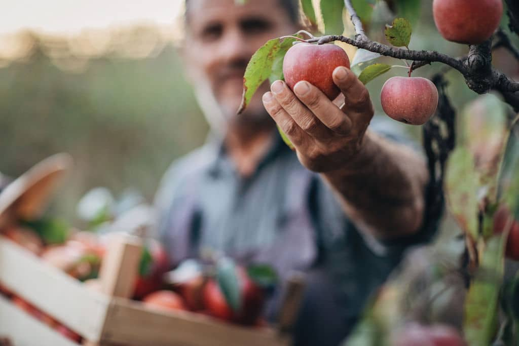 Man picking apple in orchard