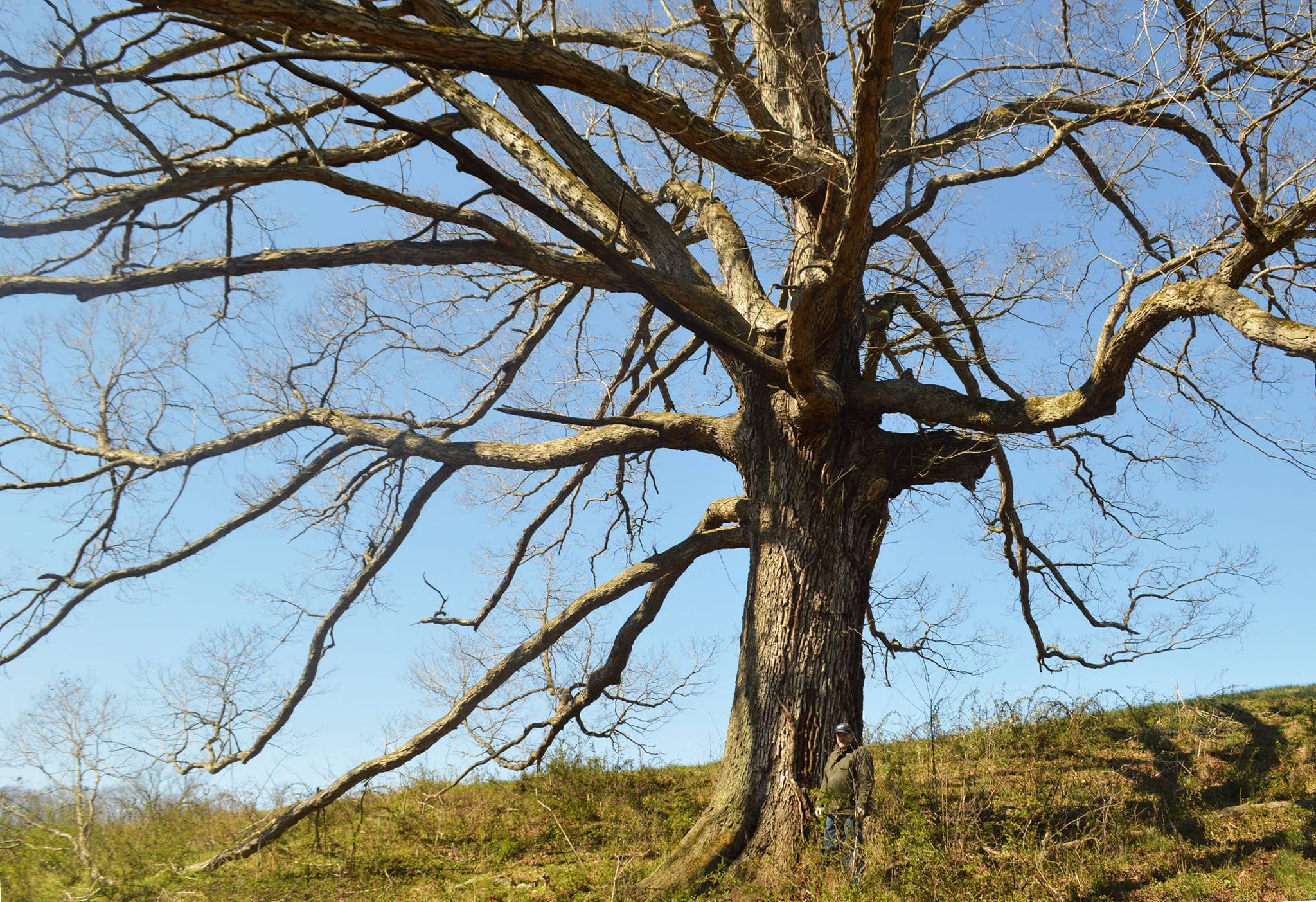Oak Spring large tree