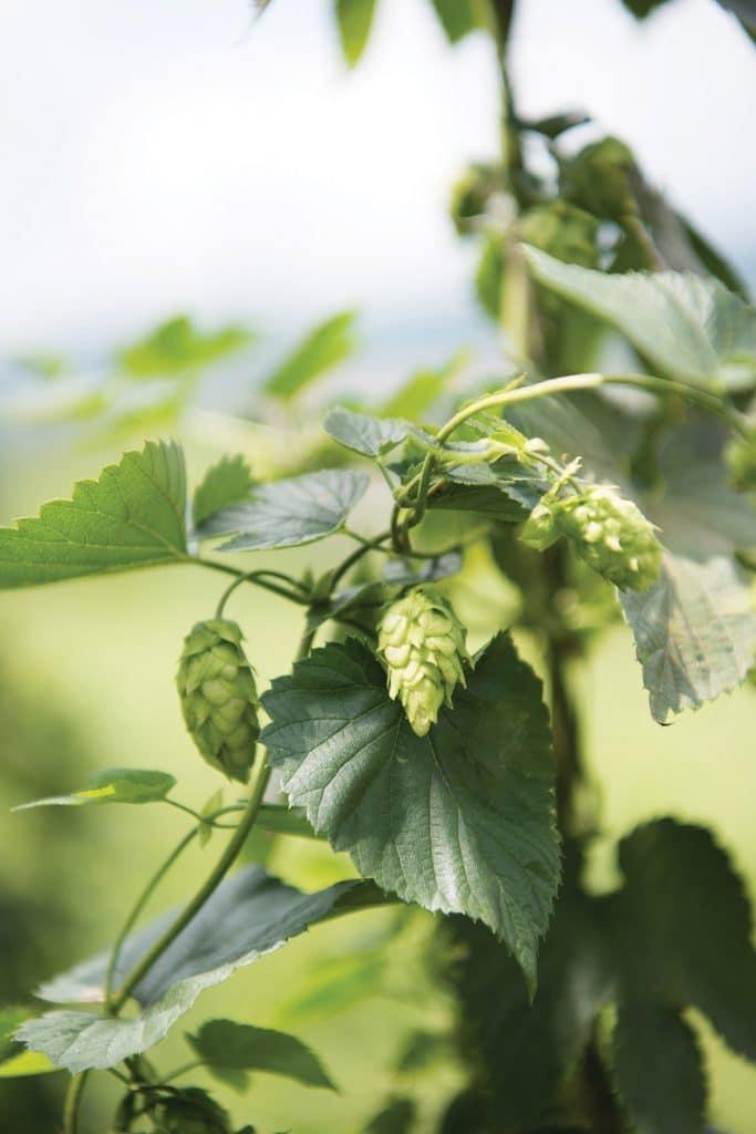 Beer Hops plant