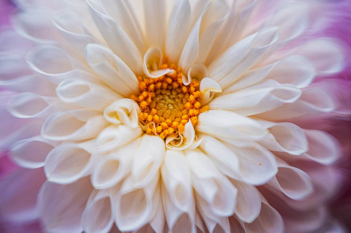 Close up photo of a flower