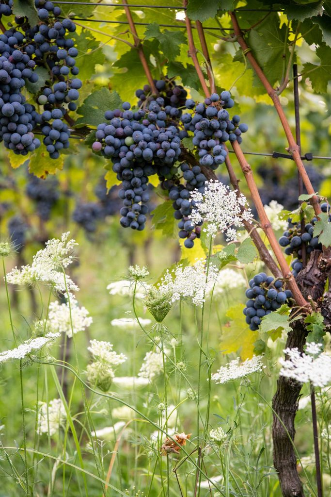Grapes at 868 Estate Vineyard in Purcellville by photographer RL Johnson