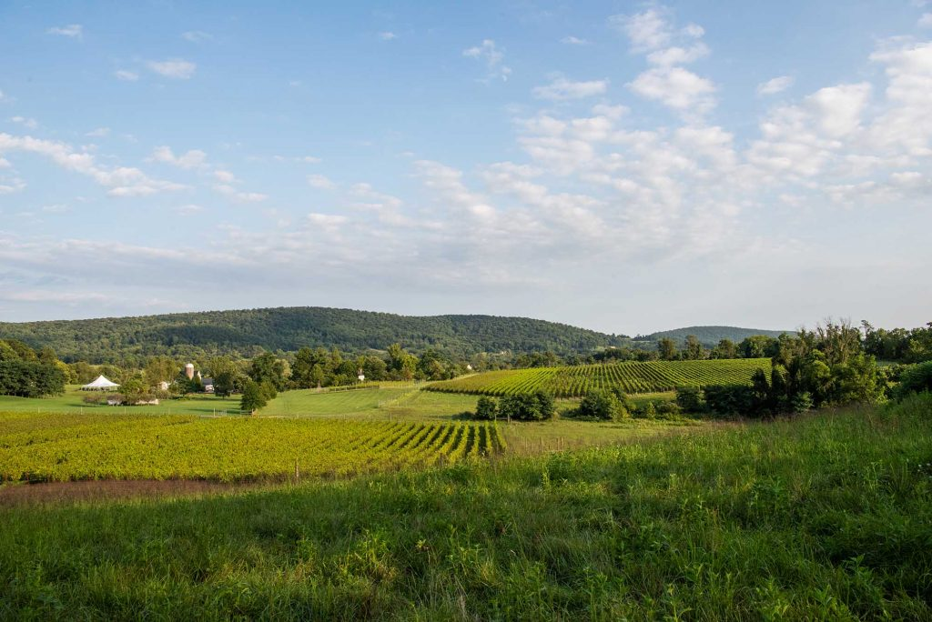 View of the vines at 868 Estate Vineyard in Purcellville by photographer RL Johnson