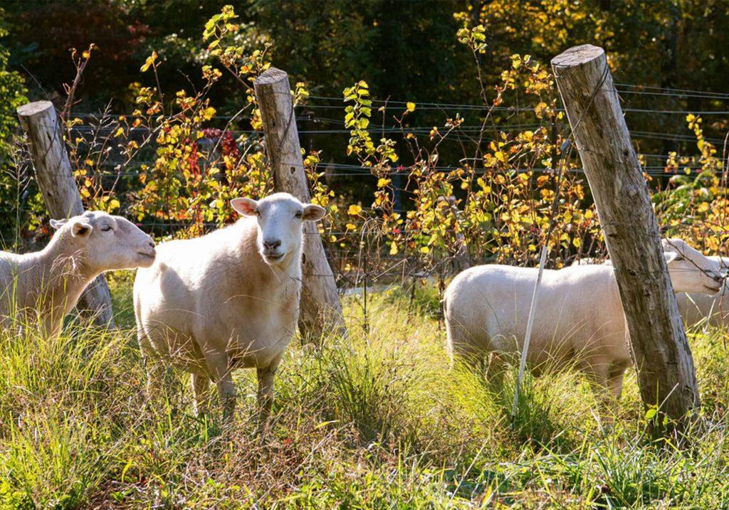 Sheep at Ankida Ridge Vineyards