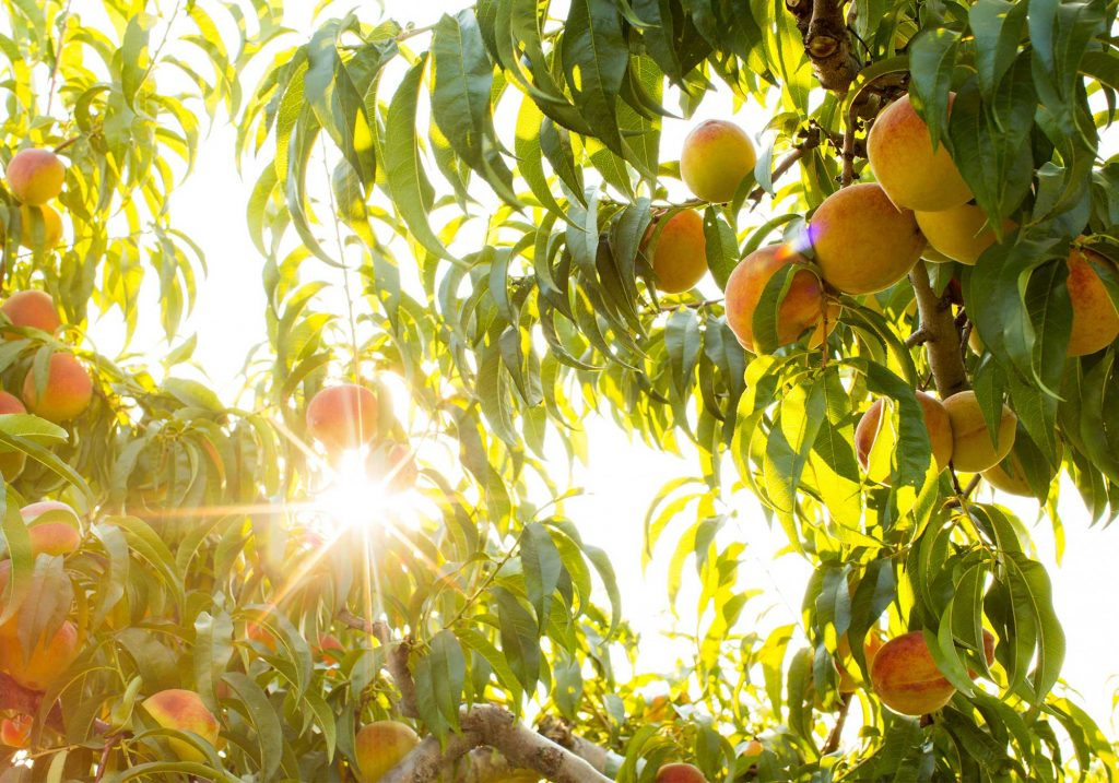 Peach trees of Chiles Peach Orchard
