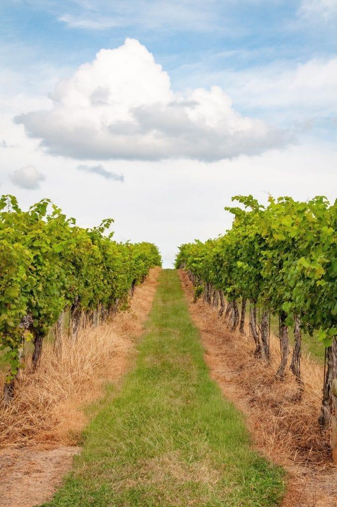 Keswick Vineyards photographed by RL Johnson
