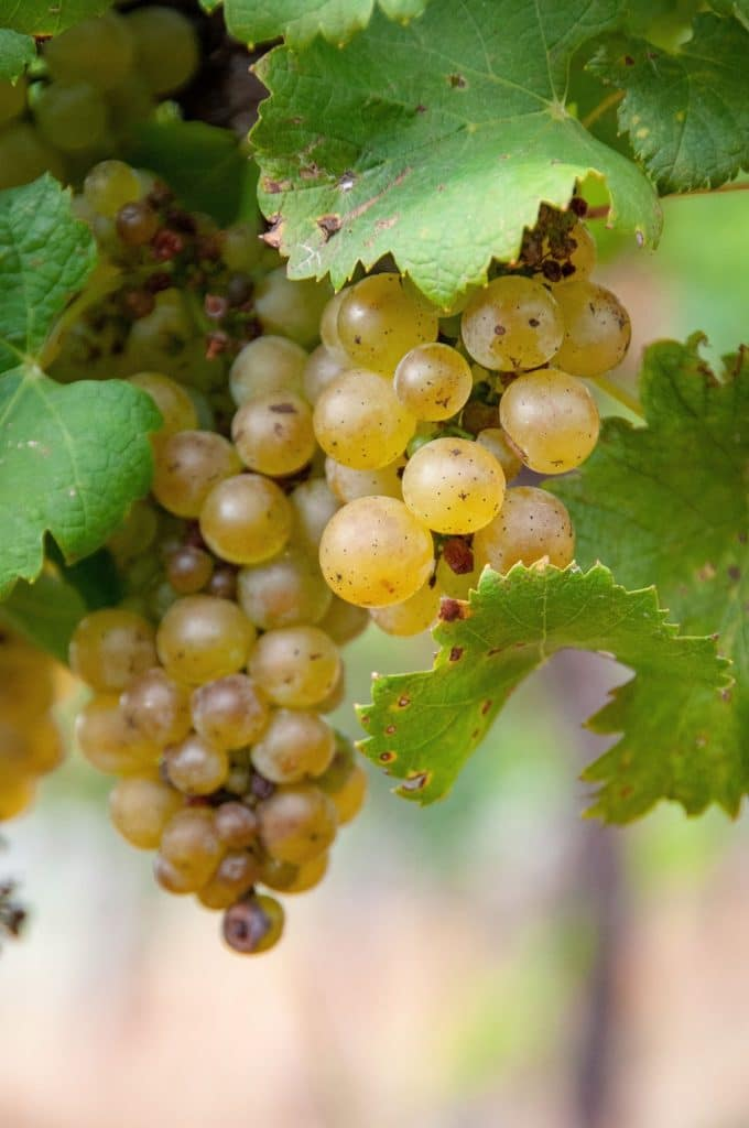 Keswick Vineyards grapes, © Image by Wine & Country Life