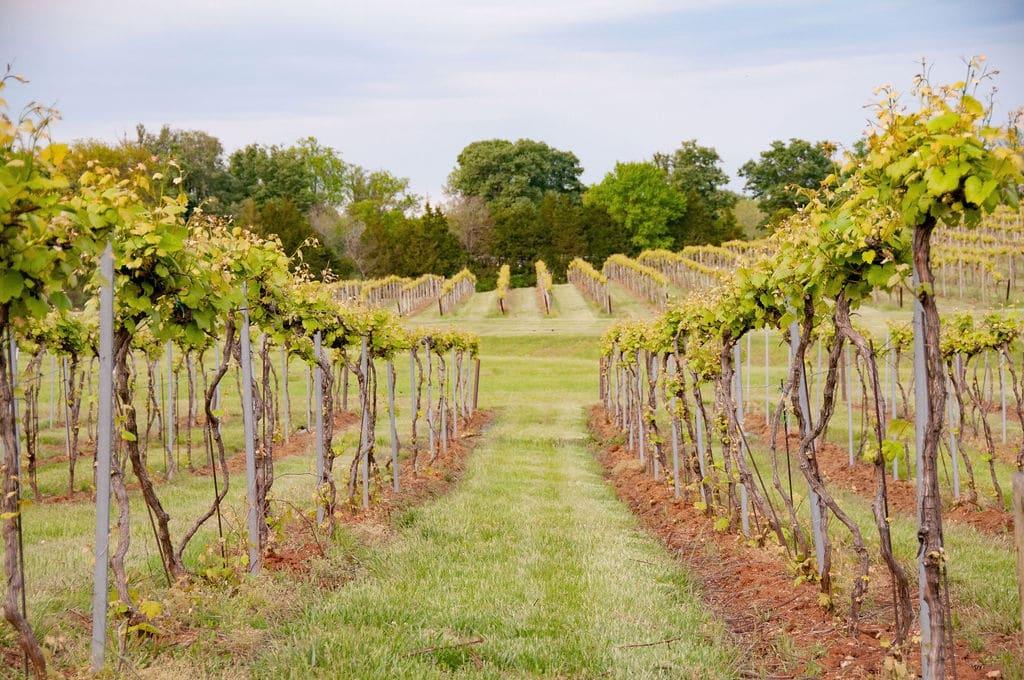 Keswick Vineyards vines, © Image by Wine & Country Life